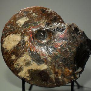 Ammonite fossil specimen – large Fossils