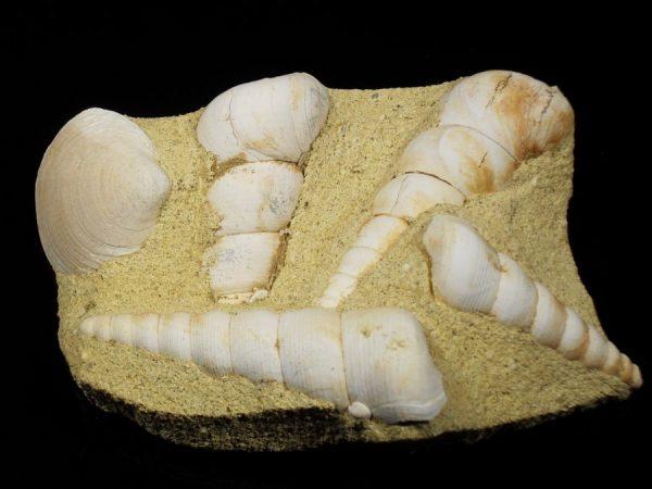 Turitella fossil specimen Fossils France
