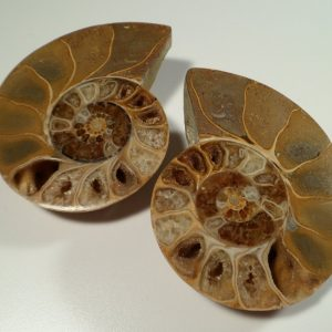 Ammonite pair of halves – large Fossils Ammonite pair of halves