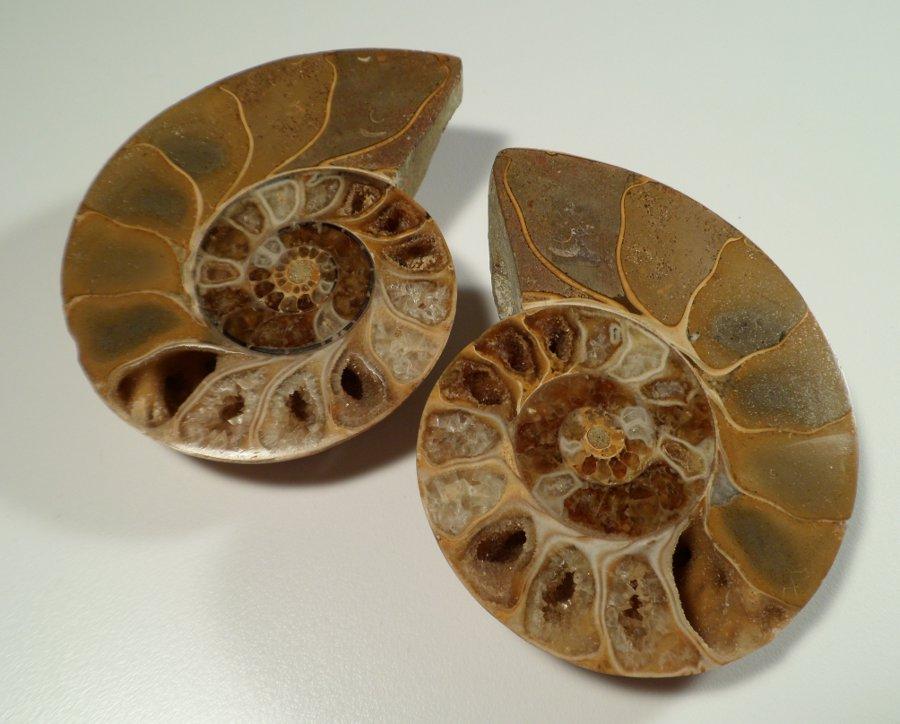 Ammonite pair of halves – large Fossils Ammonite pair of halves