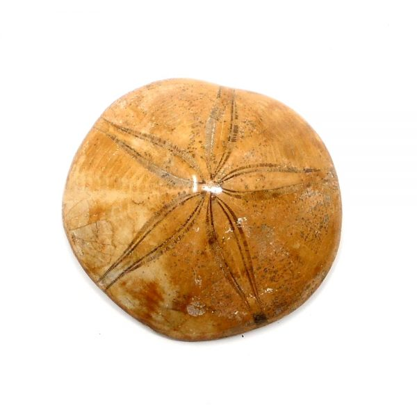 Fossilized Sand Dollar Fossils fossil
