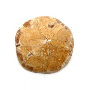 Fossilized Sand Dollar Fossils