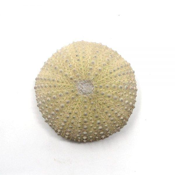 Sea Urchin Fossils sea urchin
