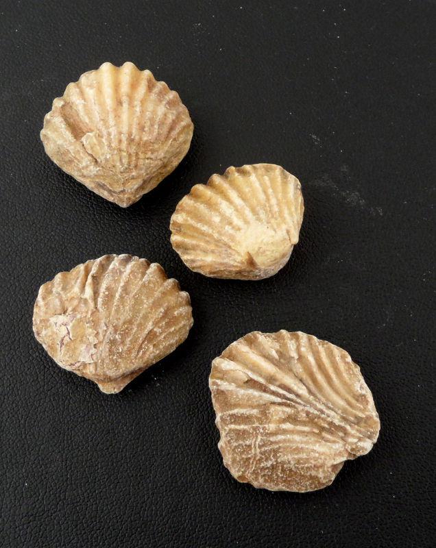 Brachiopods Fossils brachiopod