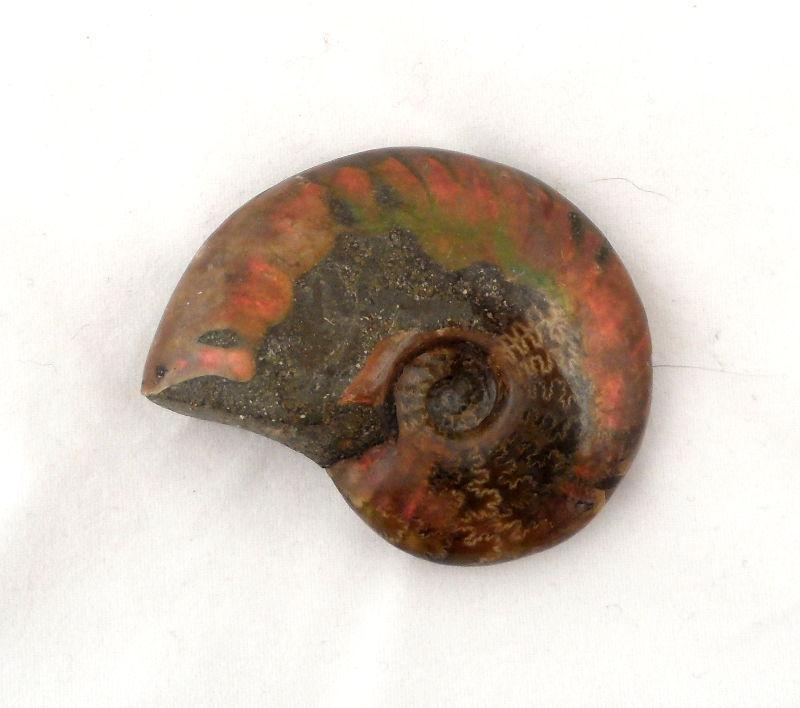 Iridescent Fossilized Ammonite Fossils ammonite