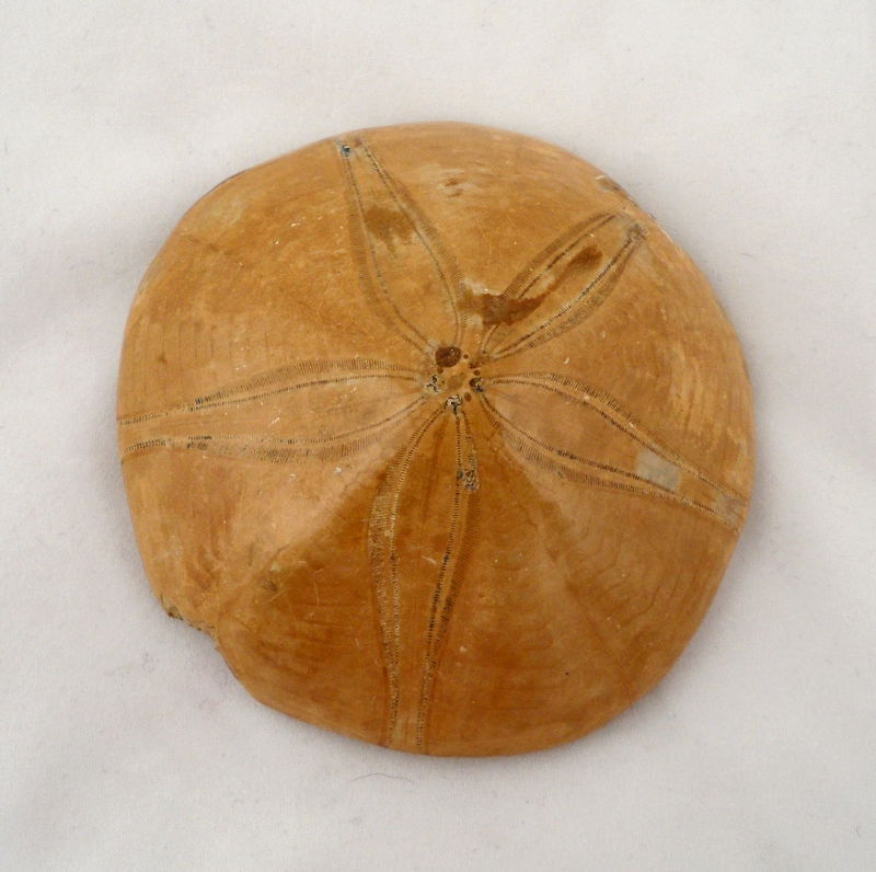 Fossilized Sand Dollar, lg Unique Gift Ideas fossil