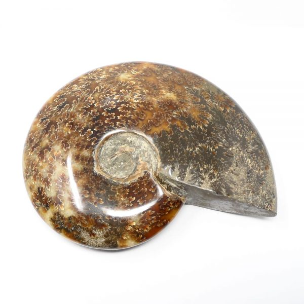 Ammonite Extra Quality Fossils ammonite