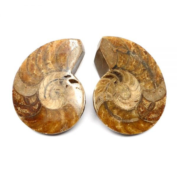 Ammonite Fossil Pair Fossils ammonite