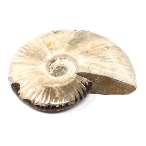 Iridescent Ammonite Fossils ammonite