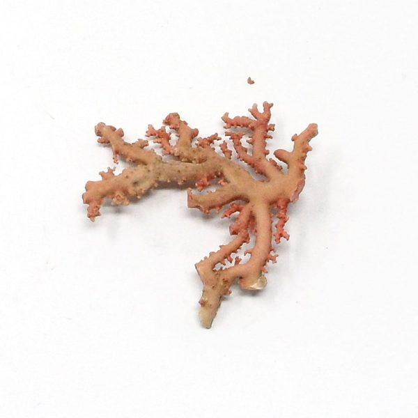 Precious Coral Specimen Pink Fossils coral