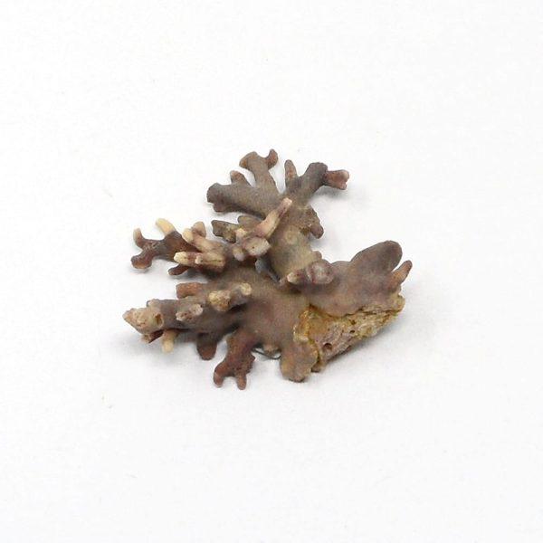 Precious Coral Specimen Purple Fossils coral