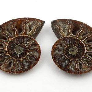 Ammonite Pair, md Fossils ammonite