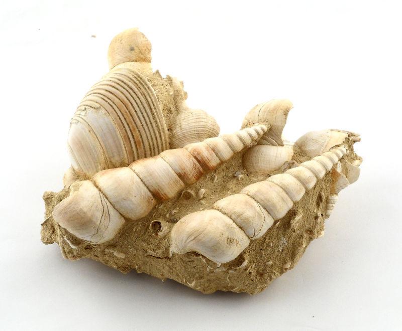 Turitella Fossil, Lg Fossils fossil