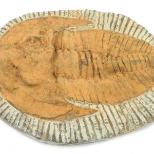 Cambropallas Trilobite, lg Fossils