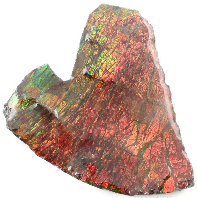 Ammolite Fossils alberta