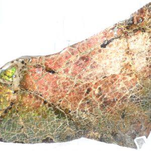 Ammolite Fossils