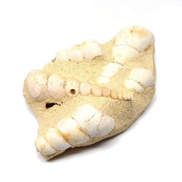 Turritella in Matrix Fossil Fossils fossil
