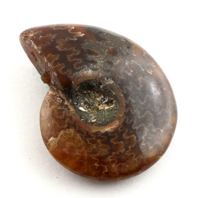 Fossilized Ammonite Fossils ammonite