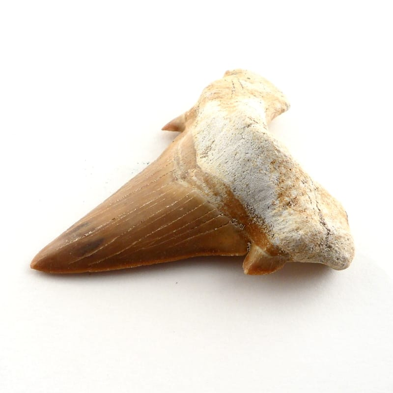 Shark Tooth Fossils fossil