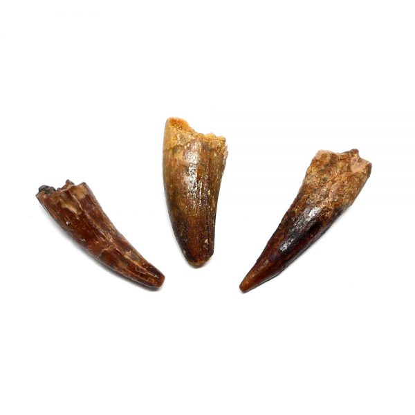 Steneosaurus Tooth Fossils fossil
