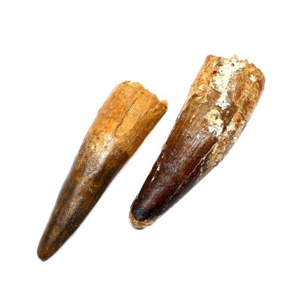Steneosaurus Tooth Fossils fossil
