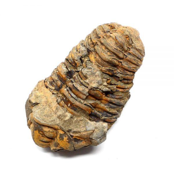 Fossilized Trilobite Fossils fossil